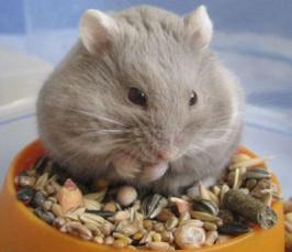 Что едят хомяки?   Животные   ШколаЖизни ру